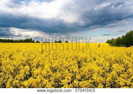 Beautiful Field Of Yellow Rape And Green Trees. A Closeup Photo Of A Rapeseed Flower. Growing Seeds