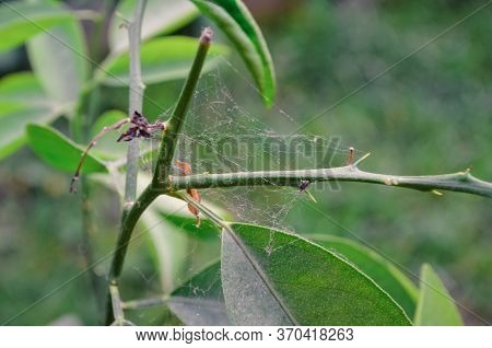 Spider Web On Tree Branches. Spider Web Nature Background. Nature Background Of Spider Web.