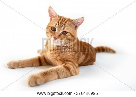 Orange cat. Portrait of tabby ginger cat over white background, wide angle. Adorable pet posing at studio. Cute domestic animal.