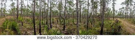 Pine Forest And Young Palms In Everglades National Park Panorama