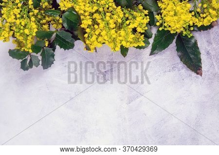 Cassia Fistula Yellow Flowers Blooming With Branch Isolated On Cement Concrete Background Closeup. T