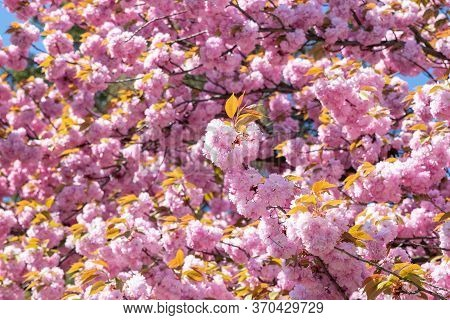 Blossoming Cherry-blossoms Close-up, Beautiful Background. Japanese Cherry Blossom Period.