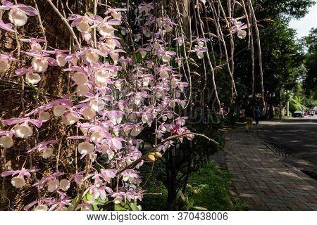 Nantou, Taiwan - April 9th, 2020: dendrobium flowers at street with tourists in Zhongxing new village, Nantou, Taiwan, Asian