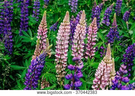 Blooming Lupine Flowers - Lupinus Polyphyllus - Garden Or Fodder Plant