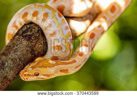 Beautiful Python Molurus Albina On Tree Branch