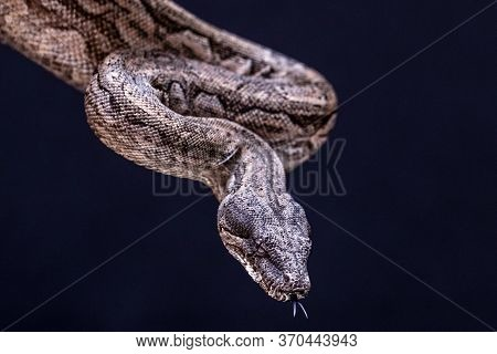 The Boa Constrictor Is A Fish Snake That Can Reach An Adult Size Of 2 Meters (boa Constrictor Amaral