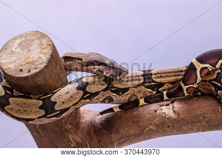 The Boa Constrictor (boa Constrictor), Also Called The Red-tailed Boa Or The Common Boa, Is A Specie