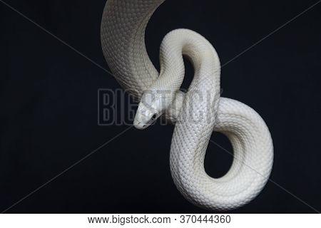 The Texas Rat Snake (elaphe Obsoleta Lindheimeri ) Is A Subspecies Of Rat Snake, A Nonvenomous Colub