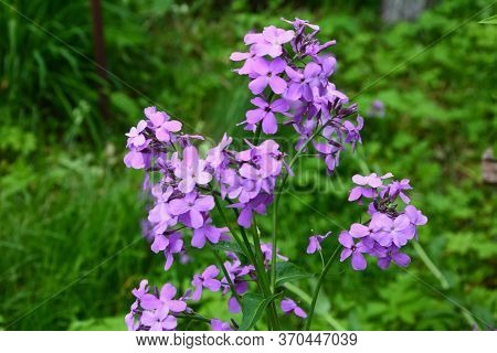 Purple Dame's Rocket Flowers, Hesperis Matronalis, On Soft Focus Background. Concepts Of Wildflowers
