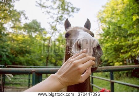 Woman\'s Hand Reaches To Stroke The Horse\'s Muzzle Affectionately. The Horse\'s Body Language Impli