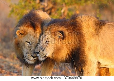 The Transvaal Lion (panthera Leo Melanochaita) Or Panthera Leo Kruegeri, Two Males At Greetings When