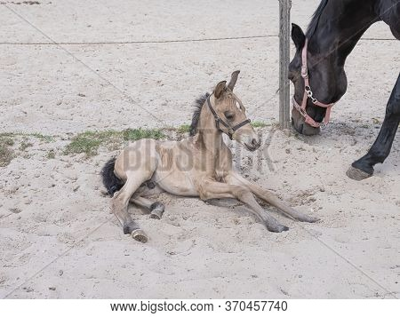 Brown Adult Horse And Yellow Stallion Foal Together In A Horse Arena. The Foal Is In The Sand