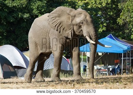 Massive Elephant Walking Through Nyamepi Campsite Tents Shows Perspective In Mana Pools, Zimbabwe