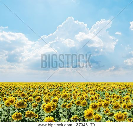 cloudy sky over field with sunflowers