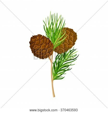Green Branch Of Cedar With Needle-like Leaves And Barrel-shaped Brown Seed Cones Vector Illustration