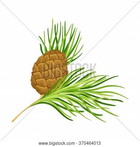 Cedar Branch With Evergreen Needle-like Leaves And Barrel-shaped Brown Seed Cones Vector Illustratio