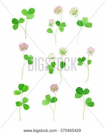 Clover Or Trefoil With Dense Spike Of Purple Flower And Trifoliate Leaves Vector Set