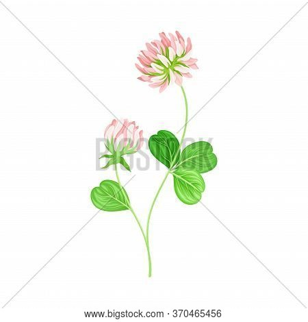 Clover Or Trefoil With Dense Spike Of Purple Flower And Trifoliate Leaves Vector Illustration