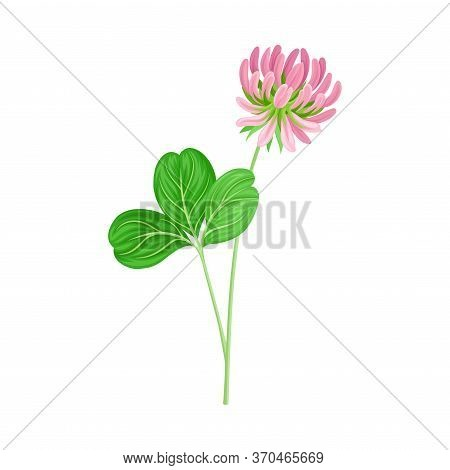Clover Plant With Dense Spike Of Purple Flower And Fibrous Trifoliate Leaves Vector Illustration