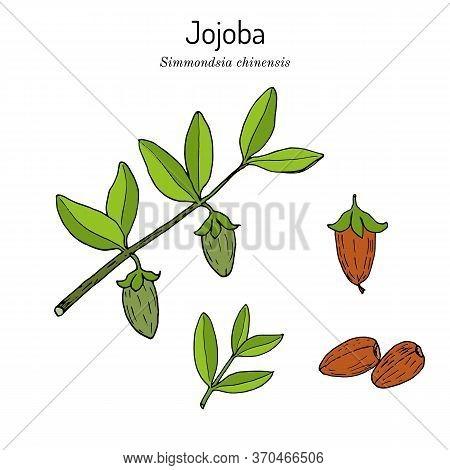 Jojoba Simmondsia Chinensis Or Wild Hazel, Quinine Nut, Coffeeberry, Gray Box Bush, Branch With Frui