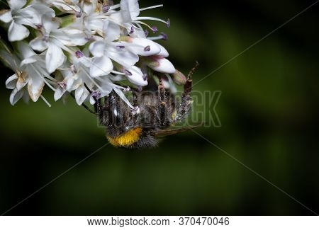 Close Up Of A Bumblebee Pollinating Flowers