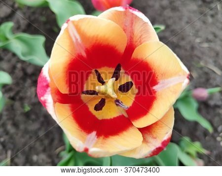 Macro Photography Of A Tulip, Flower Petals, Pistils And Stamens,