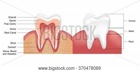 Healthy White Tooth, Gums And Bone Illustration, Detailed Anatomy. Tooth Anatomy Infographics. Reali