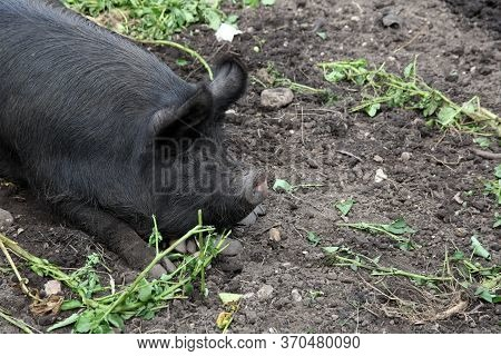 A Black Hairy Pig Sat Resting On Its Own In A Muddy Pigsty