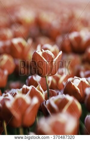 Blurred Tulips With One Tulip On The Centre, Red And White Flower In Dutch Field, Colorful Close Up,