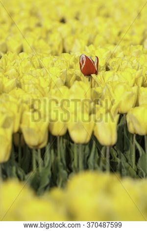 One Red Tulip In Yellow Field, Standing Above, Depht Of Field, Moning Light, Soft, Dutch Tulip Field