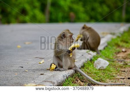 A Monkey Sitting On The Edge Of The Carriageway, A Macaque On The Road With A Banana, Feeding Wild A
