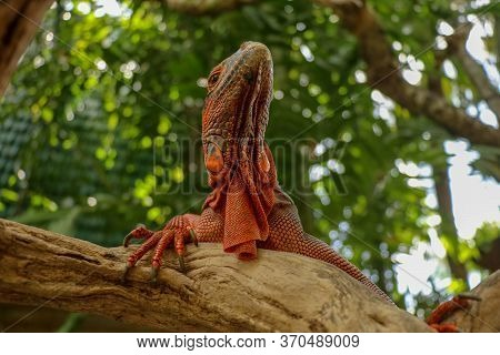 View Of The Bottom Of Red Iguana. Close-up Of Head Of Reptile. Close-up Of A Young Lizard Camouflage