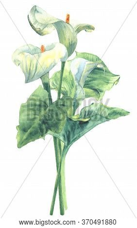 Calla Lilies Bouquet, Watercolor Hand-painted Botanical Illustration Isolated On White