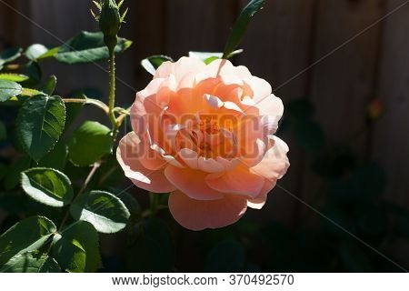 A Peach Garden Rose With The Botanical Name Rosa Chinensis
