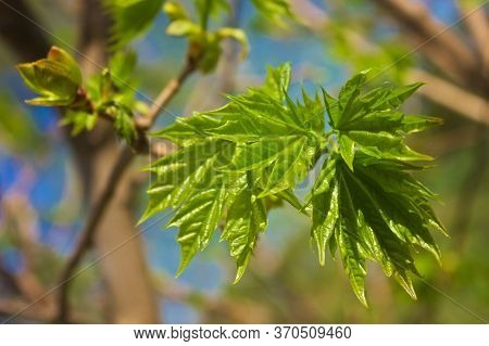 Photo Of Recently Opened Shriveled Leaves Of A Young Maple