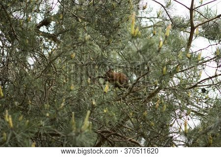 The Red Squirrel Hid In The Branches Of Pine, Coniferous Trees And Eats Something.
