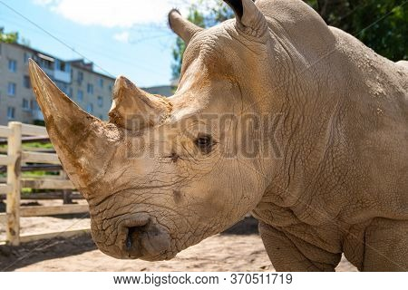 Rhinoceros In The Zoo Aviary. Observation Of Wild Animals In Captivity.