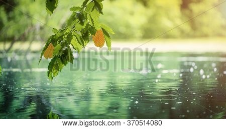 Hornbeam Twig With Green Leaves Over Water.