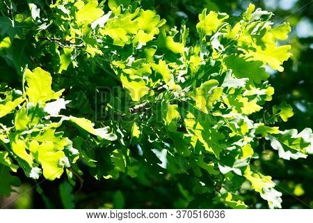 Sunny Oak Foliage. Seasonal Nature Background Environment Concept.