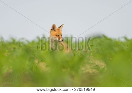 Red Fox Youngster Sitting In The Field.