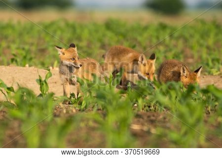 Group Of Red Fox Youngsters Eating In The Field.