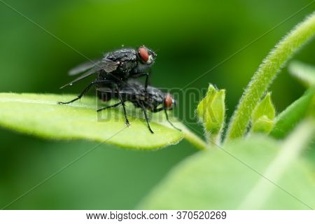 Two Flies On The Green Leaf  Macro Photography