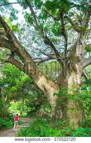 One Person Making Jogging Under A Big Baobab Tree (adansonia Digitata) La Digue Island. Seychelles
