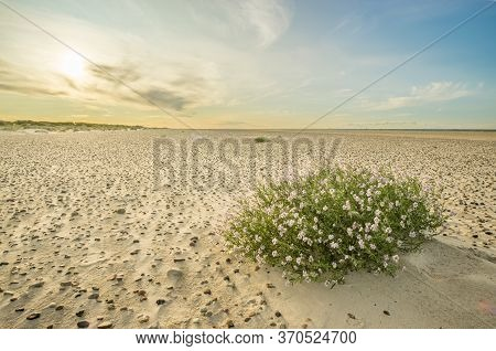 Large Beach With Pebble Stones And Sea Thrift Flowers In Soft Sunrise Sunset Light. Skagen Nordstran