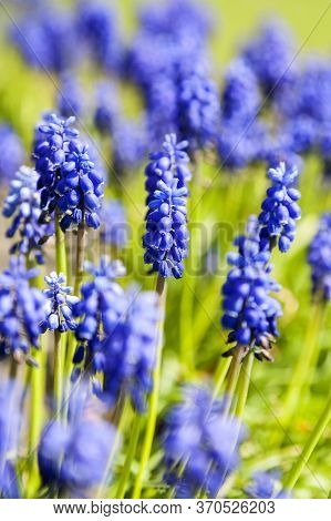 Bright Blue Grape-hyacinth Flowers, In A Green Field On A Sunny Day, Portrait View, With A Shallow D