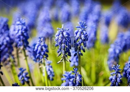 Bright Blue Grape-hyacinth Flowers, In A Green Field On A Sunny Day, Landscape View, With A Shallow
