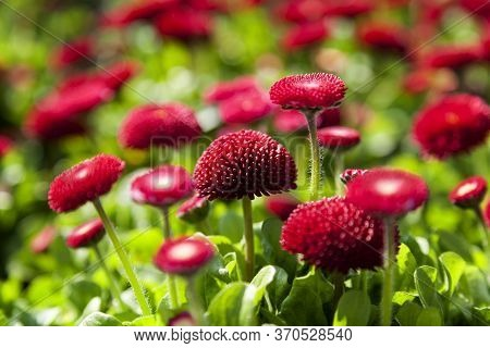 Landscape Image Of Bellis Perennis, The Beautiful Bright Red Meadow Daisy, With Green Floiage And Wi