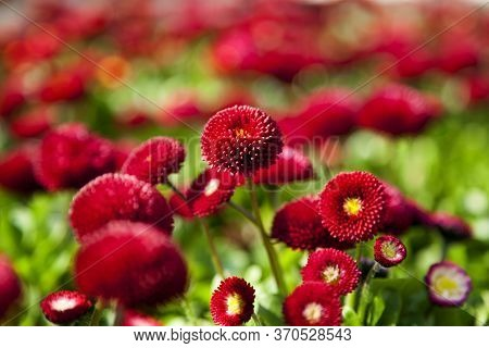 Landscape View Of Bellis Perennis, The Beautiful Bright Red Meadow Daisy, With Green Floiage And Wit