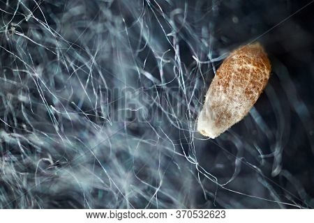 Poplar Fluff Under A Microscope And A Seed