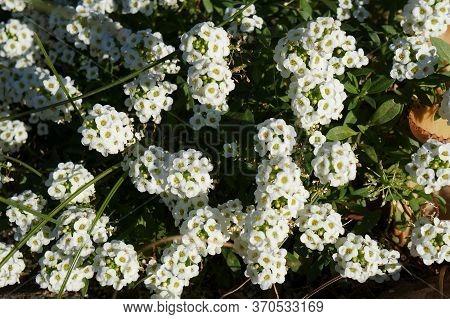 Lobularia Maritima Or Alyssum Beautiful White Flowers, Selective Focus, Purposely Blurred
